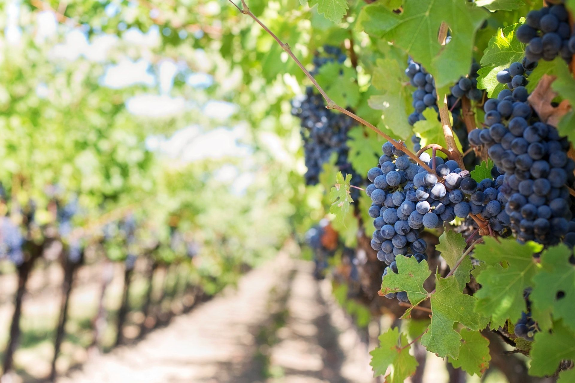 like the grape farming industry, IT staffing faces many changes and challenges